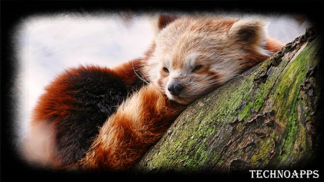 Red Panda Wallpaper poster