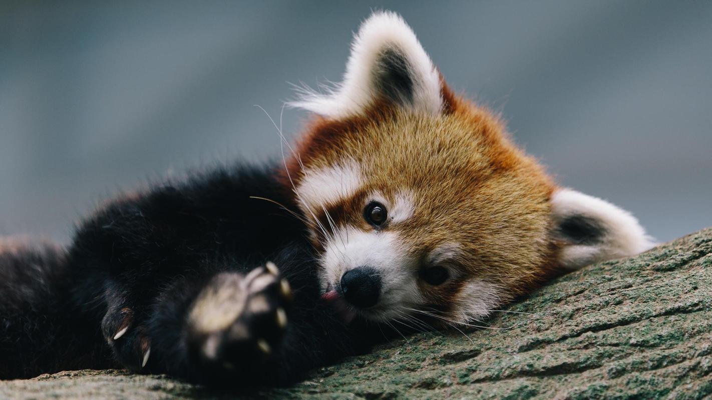 red panda phone wallpaper wallpapersjpgcom