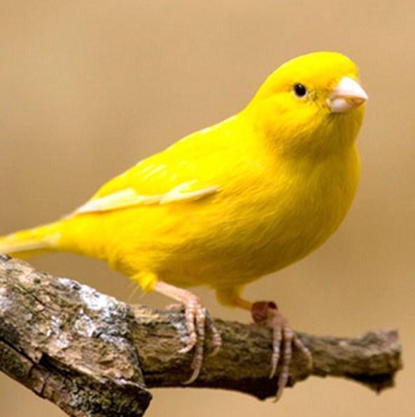 Tips Merawat Burung Kenari For Android Apk Download