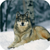 Wolf. Animal Live Wallpapers icon