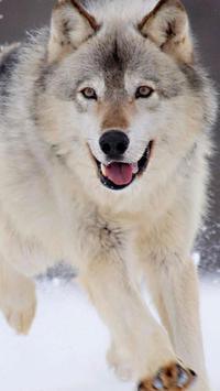 Wolf. Animal Live Wallpapers apk screenshot