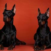 Doberman Dog Wallpaper icon