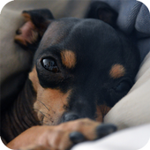 Pinscher Dog Wallpaper icon