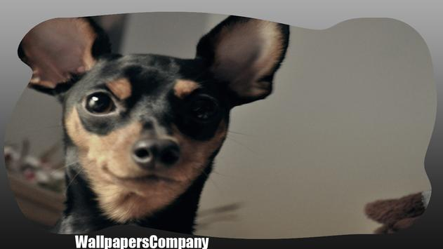 Pinscher Dog Wallpaper screenshot 2