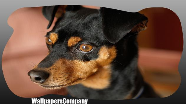 Pinscher Dog Wallpaper poster