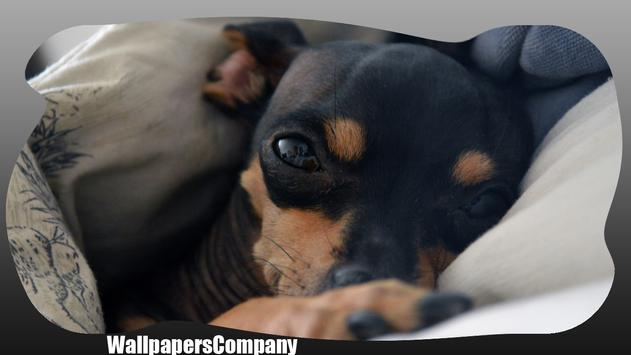 Pinscher Dog Wallpaper apk screenshot