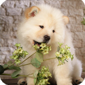 Chow Chow Wallpaper icon