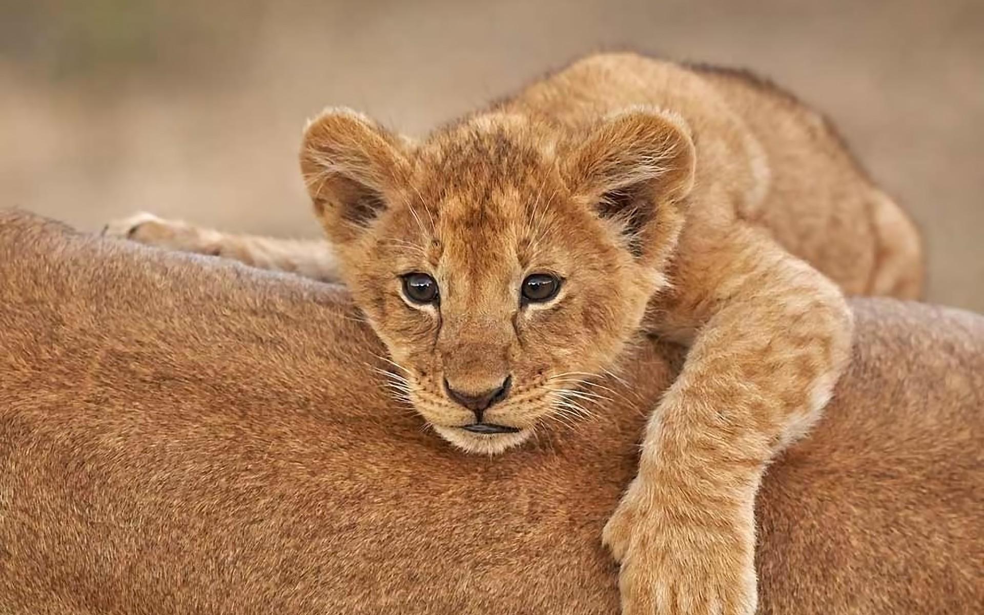 Afbeeldingsresultaat voor little lion