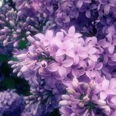 Lilac Live Wallpaper icon