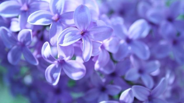 Lilac Live Wallpaper screenshot 2