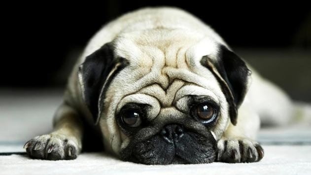 Pug Dog Live Wallpaper Apk Screenshot