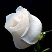 Rose White HD Live Wallpaper icon