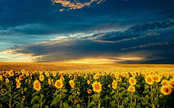 Sunflowers Live Wallpaper apk screenshot