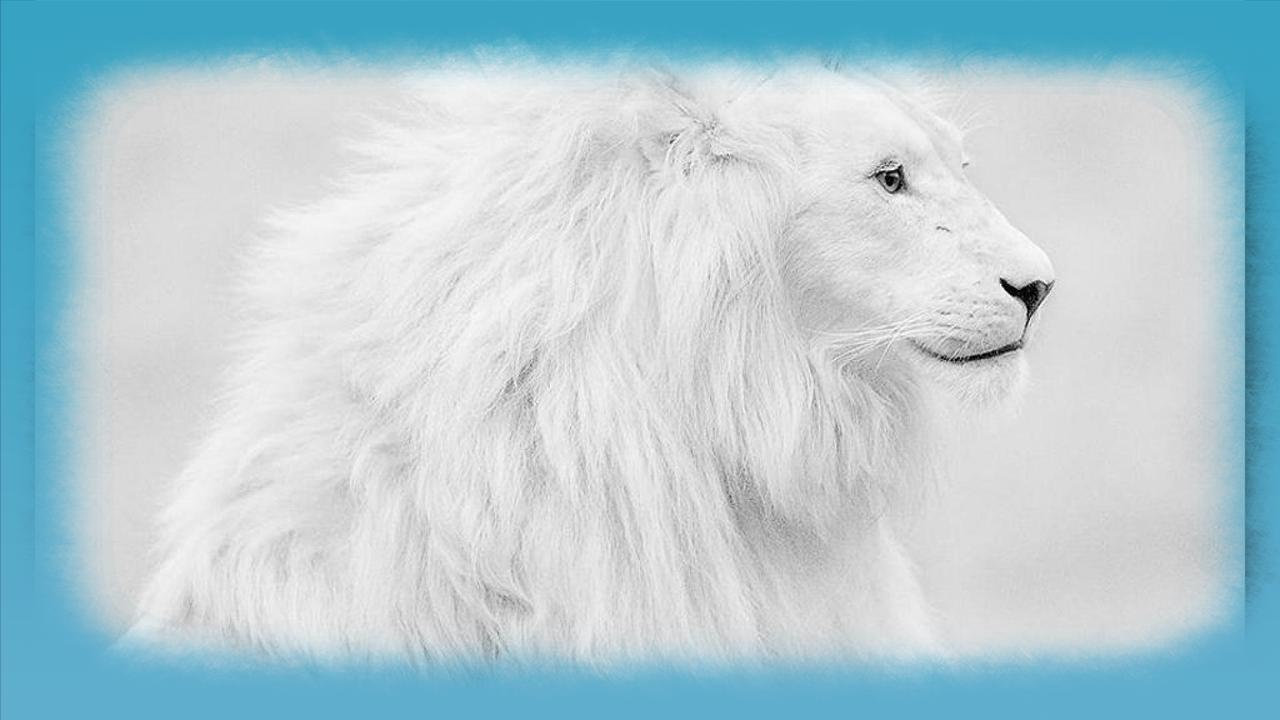 White Lion Hd Wallpaper For Android Apk Download
