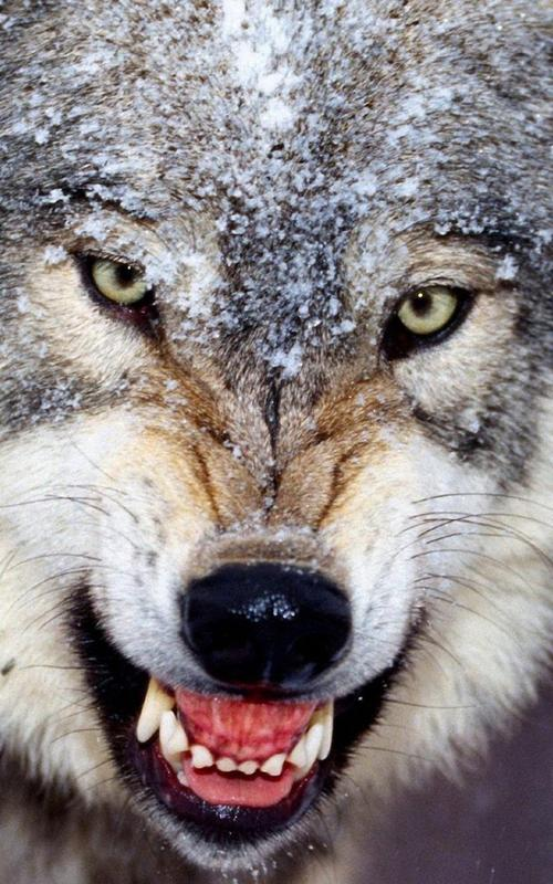 Wolf Live Wallpaper for Android - APK Download