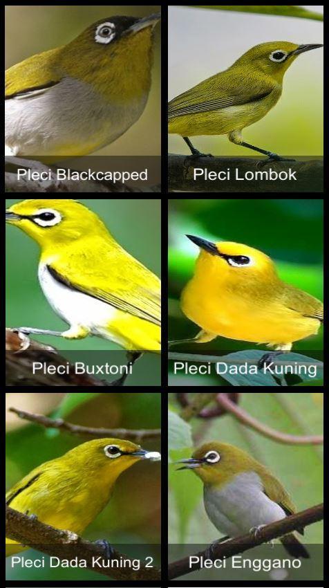 Suara Burung Pleci For Android Apk Download