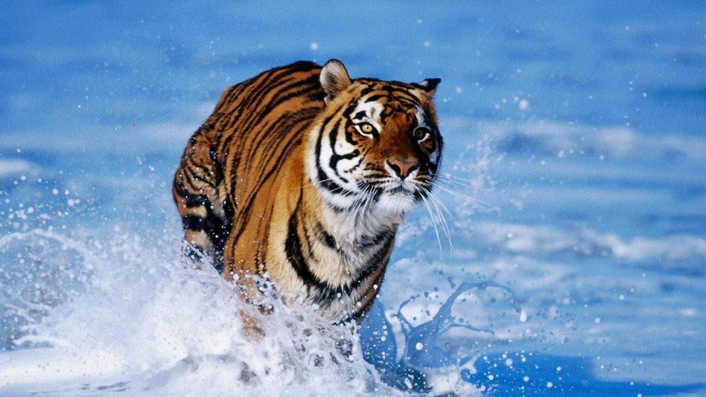 tiger wallpaper - fancy free apk download - free personalization app