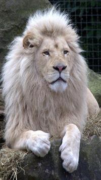 Lion Wallpapers HD apk screenshot