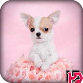 Chihuahua Dog Wallpapers Hd icon