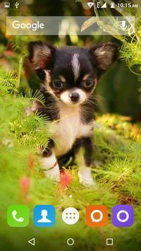 Chihuahua Dog Wallpapers Hd screenshot 1