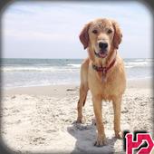 Golden Retriever Dog Wallpaper icon