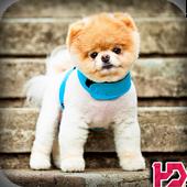 Pomeranian Dog Wallpaper Hd icon