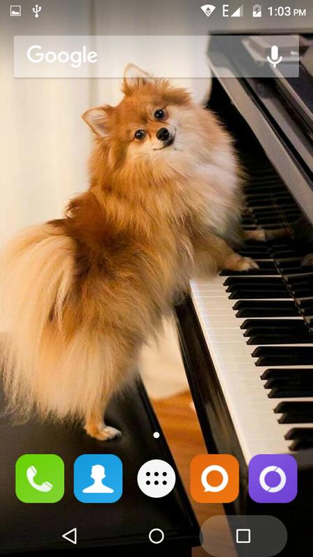 Pomeranian Dog Wallpaper Hd For Android Apk Download