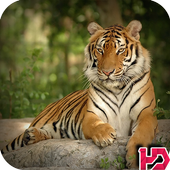 Tiger Hd Wallpapers icon