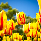 Tulips Flowers HD Wallpapers icon