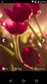Tulips Flowers HD Wallpapers poster