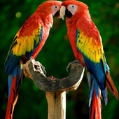 Macaw Parrot Bird HD Wallpaper icon
