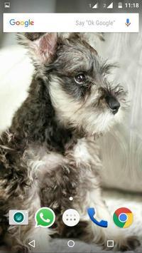 Miniature Schnauzer Dog HD apk screenshot