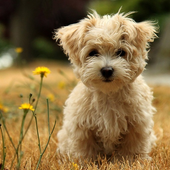 Poodle Dog HD Wallpaper icon