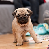 Pug Dog HD Wallpaper icon