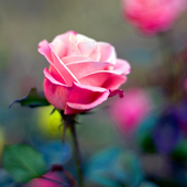 Rose Flower HD Wallpapers icon