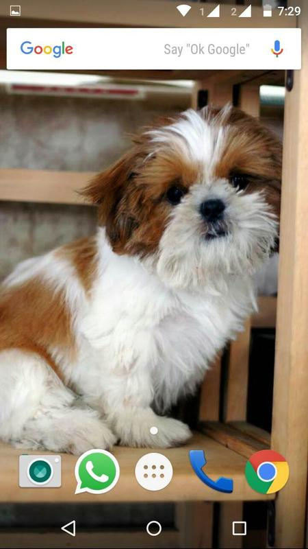 Shih Tzu Dog Hd Wallpaper For Android Apk Download