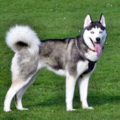 Siberian Husky Dog Wallpapers icon