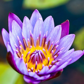 Water Lilies Flower Wallpaper icon