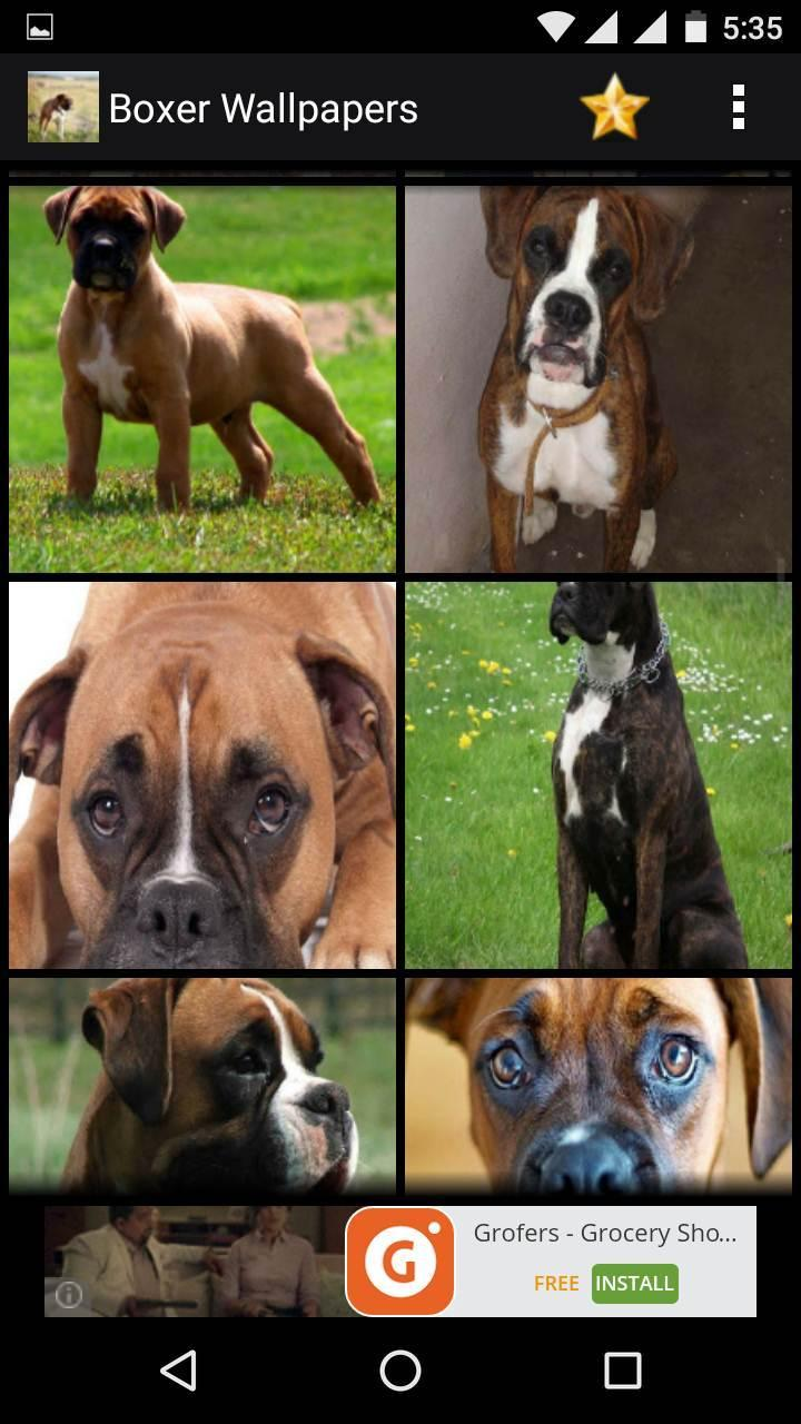 Boxer Dog Hd Wallpapers For Android Apk Download