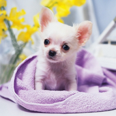 Chiwawa Dog HD Wallpaper icon