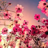 Flowers Wallpapers HD icon