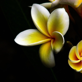 Plumeria Flower HD Wallpapers icon