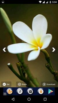 Plumeria Flower HD Wallpapers screenshot 5