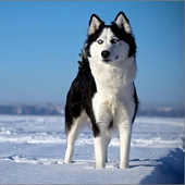 Siberian Husky Wallpapers icon