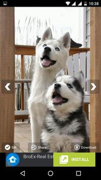 Siberian Husky Wallpapers apk screenshot