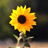 Sunflower HD Wallpaper icon