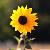 Sunflower HD Wallpaper icon