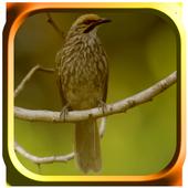 Kicau Burung Trucukan icon
