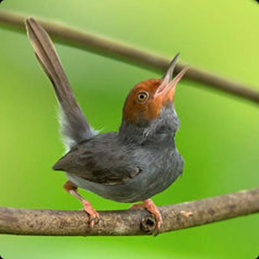 500+ Gambar Burung Prenjak Merah HD Terbaru