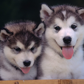 Dogs Mix Wallpapers Theme icon